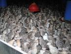 Les cailles de 4 semaines de l'élevage.