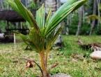 Une noix de coco devenant un palmier !
