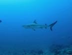 Requins à pointes noires