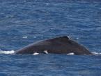 Baleine avec un rémora !
