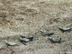Bébés tortues grosses têtes
