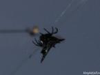Araignée-crabe, on dirait plutôt araignée batman !