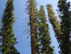 Les pins colonaires.