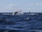 2 baleines à bosses !